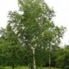 betula-tree