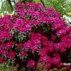 rhododendron-tree